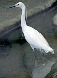 1 egret little Royaltyfri Foto