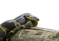 (1) elaphe schrenckii wąż Obrazy Royalty Free