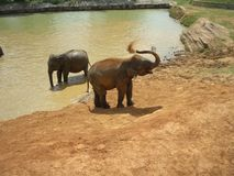 1 elefantbarnhempinnawela Royaltyfri Fotografi