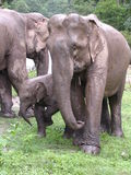 1 elelphants 库存图片