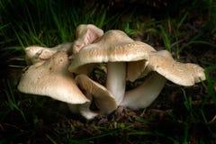 1 entoloma clypeatum Стоковые Фотографии RF