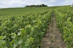 1 epernay bergiga vingård för champagne Arkivbilder