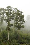 (1) eukaliptusowi mgły drzewa Zdjęcia Stock