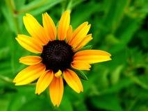 1 черный eyed susan Стоковые Фотографии RF