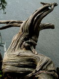 1 färgdragonwood arkivbild