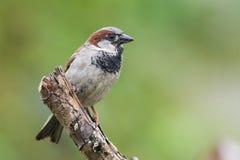 1 fågelsparrow Royaltyfria Foton