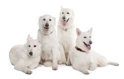 1 för herdewhite för hund gammala år Arkivfoto