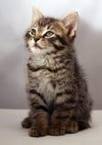 1 förtjusande kattunge Royaltyfri Fotografi