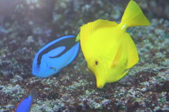 1 fish, 2 fish. Yellow and Blue Tropical fish royalty free stock photo