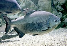 1 fiskpacu Arkivfoton