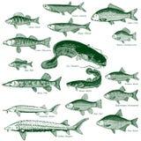 1 fisksötvattenvektor vektor illustrationer