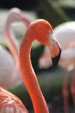 1 flamingo Fotografering för Bildbyråer