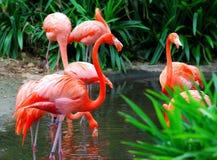 1 flamingo Arkivbild