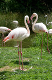 1 flamingo ståtar arkivbilder
