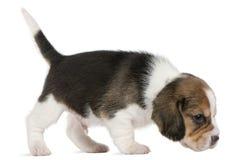 1 gå för valp för främre månad för beagle gammala Royaltyfri Bild