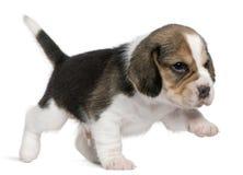 1 gå för valp för främre månad för beagle gammala Royaltyfria Bilder