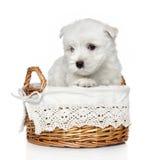 (1) górski miesiąc szczeniaka teriera na zachód biel zdjęcie royalty free
