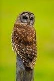 1 gallerförsedda owl Arkivfoton