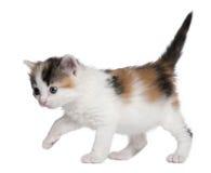 1 gammala kattungemånad Royaltyfri Bild