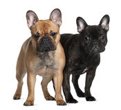 1 gammala två år för 6 månader för bulldoggar franska Arkivbild