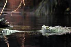 1 gavial 免版税库存照片