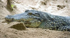 1 gavial falso Immagini Stock Libere da Diritti