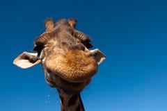 1 giraffe Στοκ φωτογραφία με δικαίωμα ελεύθερης χρήσης
