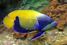 1 girdled синь angelfish Стоковые Фотографии RF