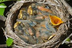 (1) gniazdowy drozd Obrazy Stock