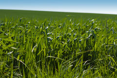 1 gräs Royaltyfri Foto