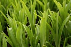 1 gräs Arkivfoto