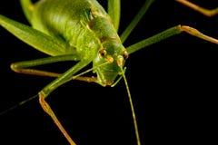 1 grashopper Стоковые Фотографии RF