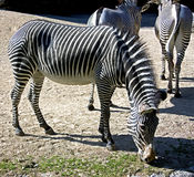 1 grevy зебра s Стоковая Фотография