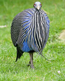 1 guineafowl vulturine Obrazy Royalty Free