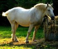 1 hästwhite arkivbilder