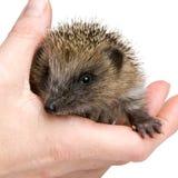1 hedgehog months Στοκ εικόνα με δικαίωμα ελεύθερης χρήσης