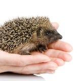 1 hedgehog months Στοκ φωτογραφία με δικαίωμα ελεύθερης χρήσης