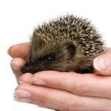 1 hedgehog months Στοκ Φωτογραφία