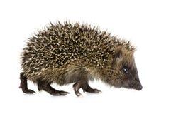 1 hedgehog months Στοκ Εικόνες