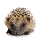 1 hedgehog months Στοκ Εικόνα