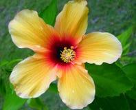 1 hibiscus Μαλβίδες Στοκ φωτογραφία με δικαίωμα ελεύθερης χρήσης