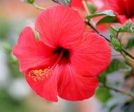 1 hibiscus Стоковая Фотография