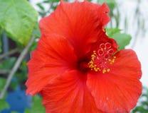 1 hibiskus λουλουδιών Στοκ εικόνα με δικαίωμα ελεύθερης χρήσης