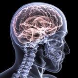 1 hjärnstrålskelett x Arkivfoton