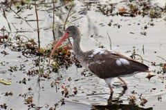 1 ibis för amerikansk eudocimus för albus barnsliga white Royaltyfri Bild