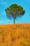 1 ingen tree tuscany Royaltyfri Bild