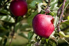 (1) jabłko Zdjęcia Stock