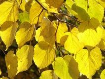 1 jesienni liście Obrazy Stock