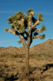 1 joshua tree Royaltyfri Fotografi