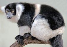 1 köt lemur ruffed white Royaltyfri Fotografi